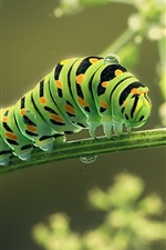 Preview iPhone wallpaper Green caterpillar, insect, water drops, art picture