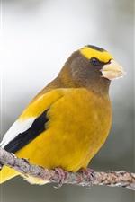 Preview iPhone wallpaper Grosbeak, yellow feathers bird