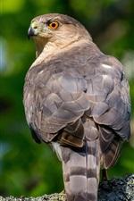 Preview iPhone wallpaper Hawk, predator, birds, look back