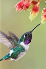 Preview iPhone wallpaper Hummingbird, bird, flight, flowers, water drops