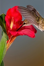Preview iPhone wallpaper Hummingbird, red flower, green leaf