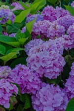 Preview iPhone wallpaper Hydrangea flowers bloom, spring