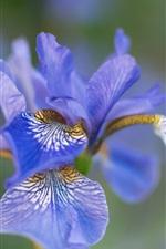 Цветная ирисовая макросъемка, синие лепестки, боке