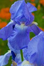 Preview iPhone wallpaper Irises, blue petals