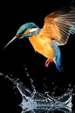 Kingfisher flight, wings, water, splash, black background