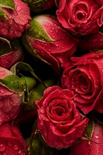 Preview iPhone wallpaper Many red roses, water drops