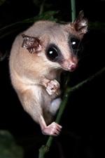 Preview iPhone wallpaper Opossum, look, night