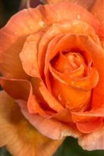 Preview iPhone wallpaper Orange petals rose close-up, water drops