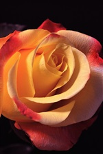 Preview iPhone wallpaper Orange rose macro photography, black background