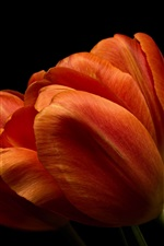 Preview iPhone wallpaper Orange tulips close-up, black background