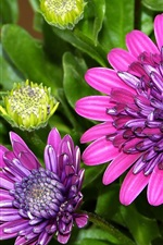 Preview iPhone wallpaper Osteospermum, petals, purple flowers