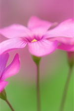 Oxalis, pink flowers