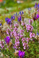 Preview iPhone wallpaper Oxytropis flowering, flowers, spring