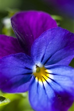 Preview iPhone wallpaper Pansy, blue and purple petals