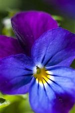 iPhone壁紙のプレビュー パンジー、青と紫の花びら