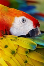 Preview iPhone wallpaper Parrot comb feathers