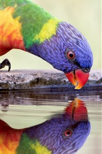 Preview iPhone wallpaper Parrot drink water, thirst, colorful feathers