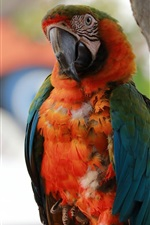 Preview iPhone wallpaper Parrot stay here
