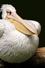 Preview iPhone wallpaper Pelican rest