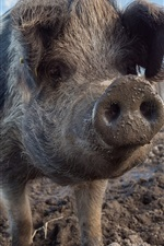 Preview iPhone wallpaper Pig, nose, dirt