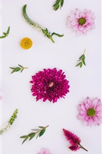 Preview iPhone wallpaper Pink flowers, chrysanthemum, white background