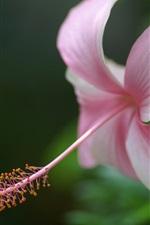Preview iPhone wallpaper Pink hibiscus flower, petals