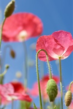 Preview iPhone wallpaper Pink poppies flowers, blue background