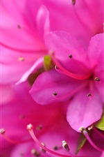 Preview iPhone wallpaper Pink rhododendron macro photography, petals