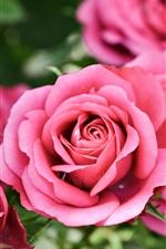 Preview iPhone wallpaper Pink roses, bokeh, flowers