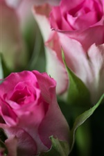 Preview iPhone wallpaper Pink roses, flower buds, blurry background