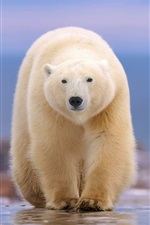 Preview iPhone wallpaper Polar bear front view, walk