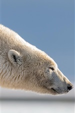 Preview iPhone wallpaper Polar bear, head, side view