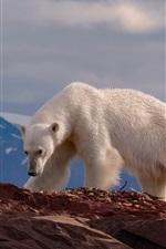 Urso polar, rochas, montanhas