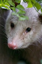 iPhone fondos de pantalla Possum look, hojas verdes