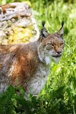 Preview iPhone wallpaper Predator, lynx, grass