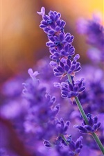 Preview iPhone wallpaper Purple flowers, lavender, plant
