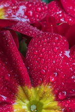 Preview iPhone wallpaper Red flowers close-up, water drops