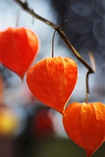 Red physalis lanterns, plants