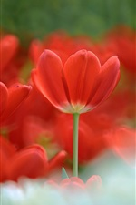 Preview iPhone wallpaper Red tulips bloom
