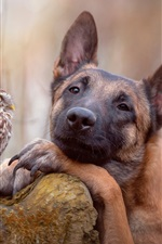 Preview iPhone wallpaper Shepherd dog and owl, friends