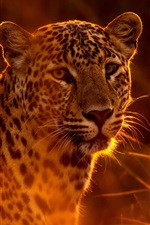 Preview iPhone wallpaper Spotted leopard, grass, sun, backlight