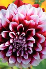 Summer, dahlia flowering, petals
