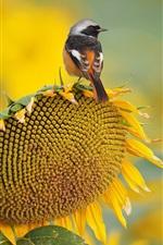 Girassol, pássaro, verão