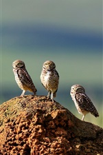 Preview iPhone wallpaper Three owls, stone