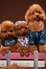 Preview iPhone wallpaper Three poodles, puppies