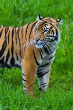 Preview iPhone wallpaper Tiger look back, green grass