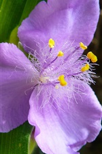 Tradescantia, purple flowers