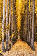 Preview iPhone wallpaper Trees, birch, forest, yellow leaves, autumn