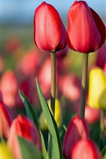 Preview iPhone wallpaper Tulips field, red and yellow flowers