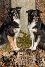 Preview iPhone wallpaper Two dogs, border collie, stump, trees